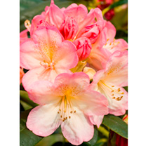 Rhododendron Plant - Percy Wiseman