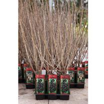 Ribes odoratum (aureum) Plant
