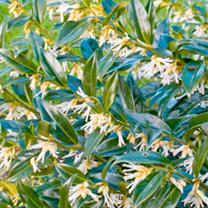 Shrub Collection - Early Spring Colour