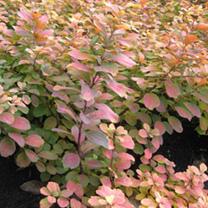Spiraea betuifolia Plant - Tor Gold