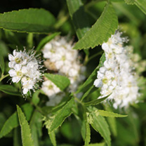 Spiraea japonica Plant - Candlelight