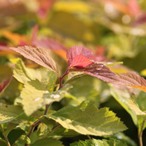 A Korean Spirea prized for its beautiful autumn colours. It also produces extremely large soft pink flowers that float like parasols above the attract