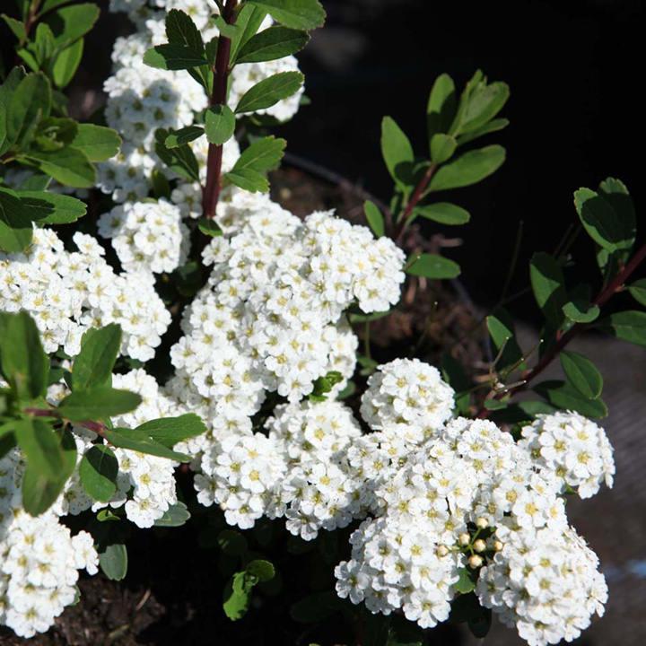 Spiraea nipponica Plant - White Carpet