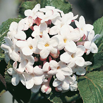 Viburnum carlcephalum Plant
