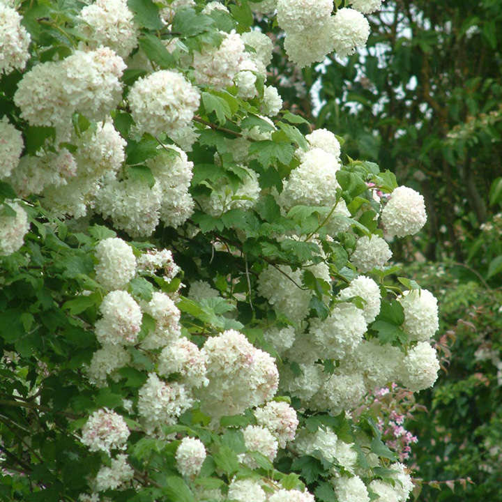 viburnum opulus plant roseum trees and shrubs flowers garden dobies. Black Bedroom Furniture Sets. Home Design Ideas