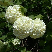 Viburnum plicatum Plant - Grandiflorum