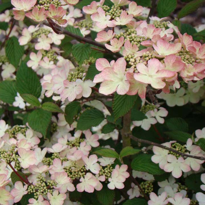 Viburnum plicatum Plant - Mariesii