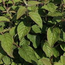 Viburnum plicatum Plant - Watanabe