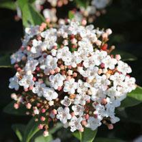 Viburnum tinus Plant - Spirit®