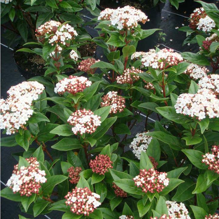 Viburnum tinus Plant