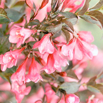 Image of Weigela florida Plant - Minor Black