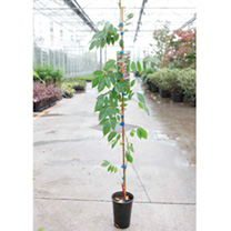 Wisteria dormosa Plant - Issai (syn. Domino)