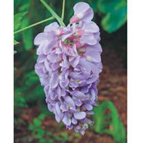 Wisteria frutescens Plant - Amethyst Falls