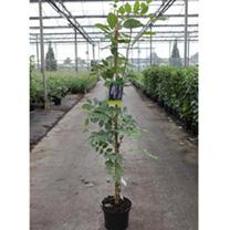 Wisteria sinensis Plant - Prolific