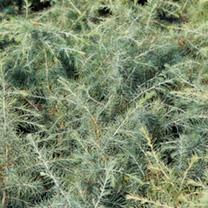 Cedrus deodara Plant