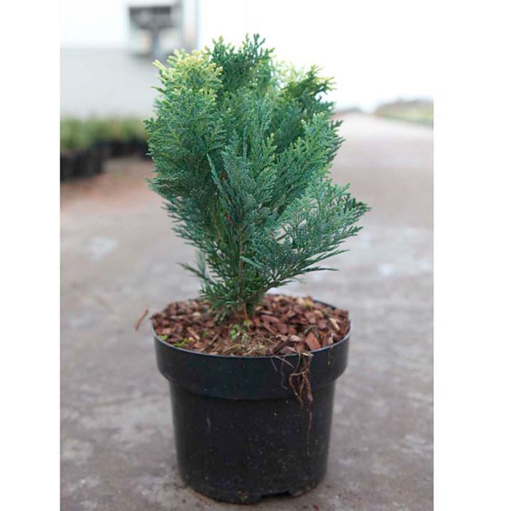 Chamaecyparis lasoniana Plant - Pygmaea Argentea