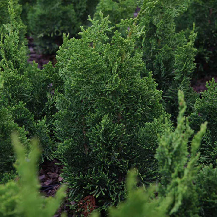 Chamaecyparis obtusa Plant - Nana Gracilis