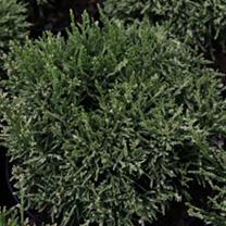 Cryptomeria j. Plant - Compressa