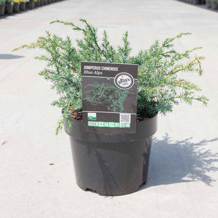 Juniperus chinensis Plant - Blue Alps
