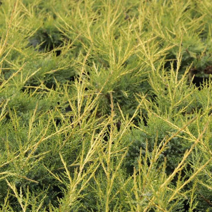 Juniperus communis Plant - Arnold