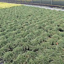 Juniperus communis Plant - Hibernica