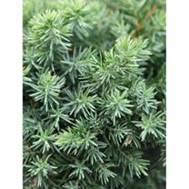 Juniperus conferta Plant - Schlager