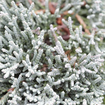 Juniperus horizontalis 'Jade River is a prostrate, evergreen shrub with silver-blue foliage that gets a rich, attractive purple hue during the cold wi