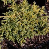 Juniperus pfitzeriana Plant - Goldkissen