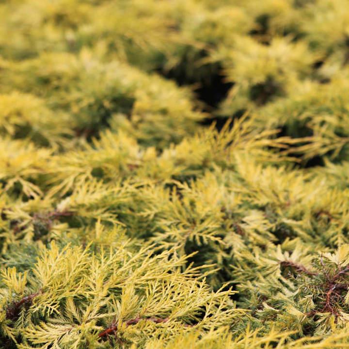 Juniperus pf. Plant - Mint Julep