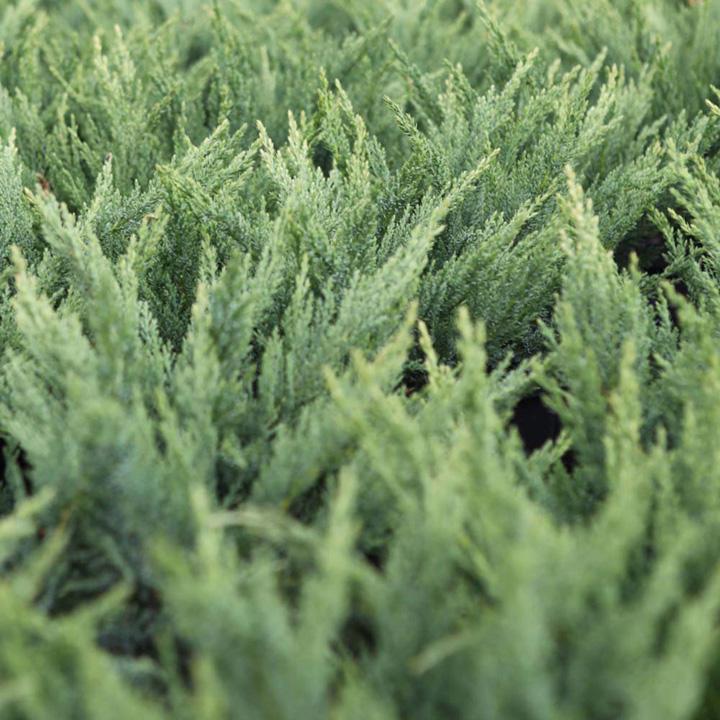 Juniperus scop. Plant - Blue Arrow