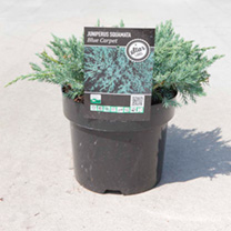 Juniperus squamata Plant - Blue Carpet