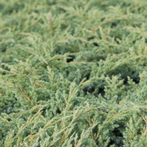 Juniperus squamata Plant - Dream Joy