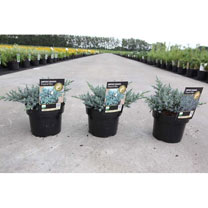 Juniperus squamata Plant - Tropical Blue