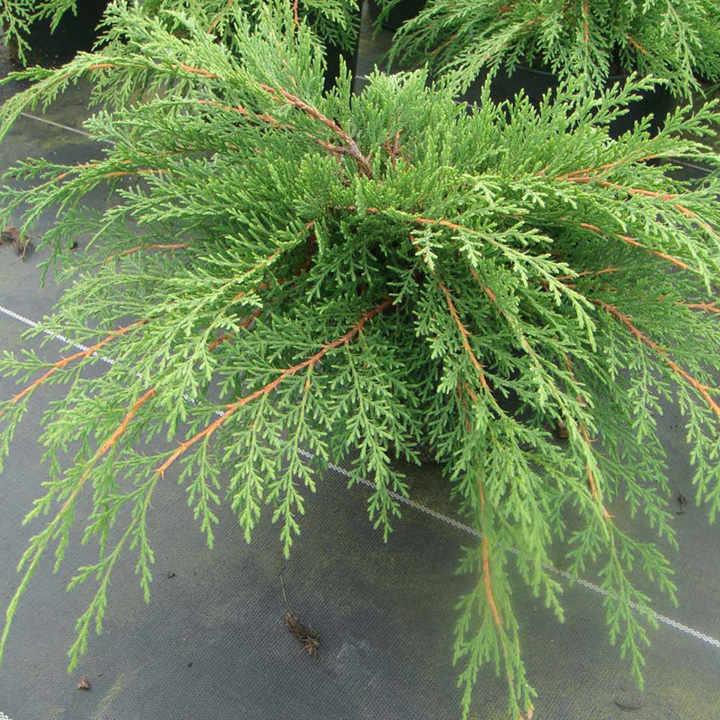 Microbiota decussata Plant - Fuzzball®