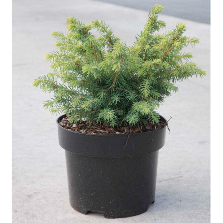 Picea glauca Plant - Barus