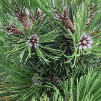 Pinus heldreichii Plant - Compact Gem