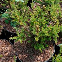 Podocarpus Plant - Guardsman