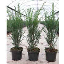 Taxus media Plant - Groenland