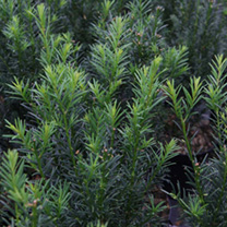 Taxus media Plant - Hicksii