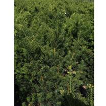 Taxus media Plant - Hillii