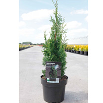 Thuja occidentalis Plant - Brobecks Tower