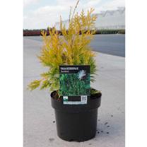 Thuja occidentalis Plant - Sunkist