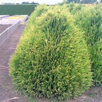Thuja plicata Plant - Little Boy