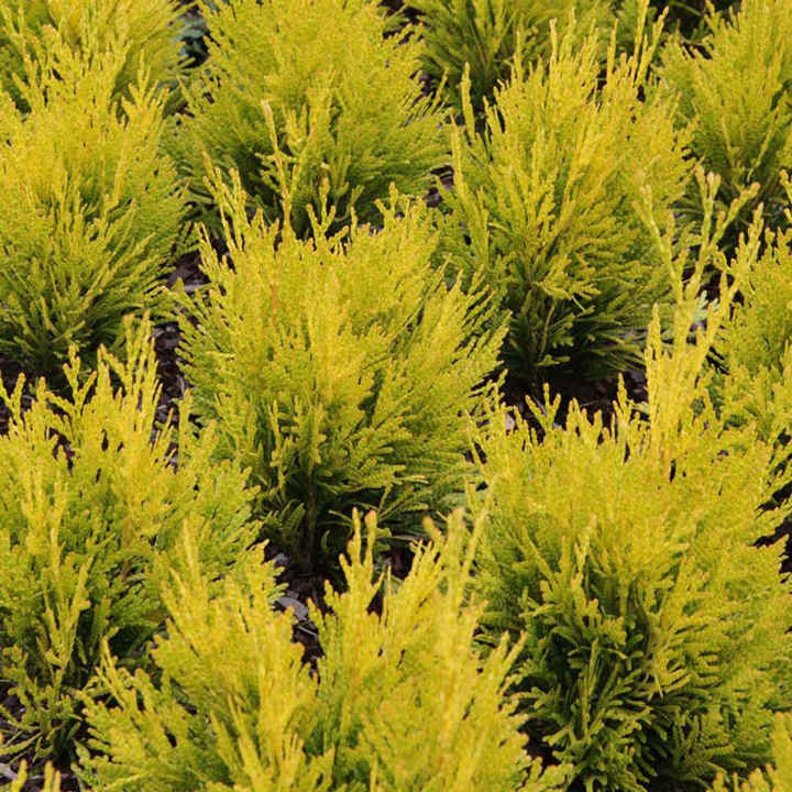 how to grow thuja plant