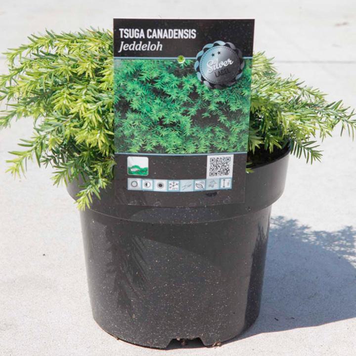 Tsuga canadensis Plant - Jeddeloh