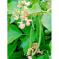 Runner Bean Seeds - Sunset