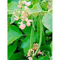 Image of Runner Bean Seeds - Sunset