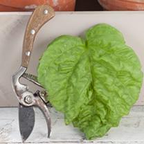 Basil Seeds - Lettuce Leaf