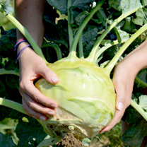 Kohl Rabi Seeds - Superschmelz