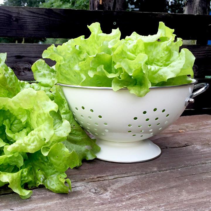 Lettuce Seeds - Fat Lazy Blonde